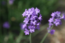 Lavendel (bloem) - Lavendula angustifolia - biologisch 30 gram