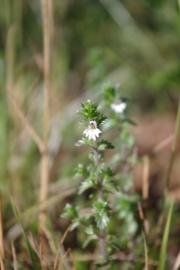 Tinctuur (BIO): Ogentroost Ø  - Euphrasia officinalis - 100 ml