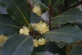 "Laurier (hele bladeren)  ""Laurus nobilis"" - 5 gram"