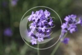 """Lavendel (bloem), """"Lavandula angustifolia"""" - 10 gram"""