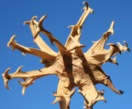 Tinctuur: Duivelsklauw Ø  -  Harpagophytum procumbens - 100 ml