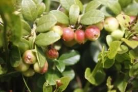 Tinctuur: Bosbesblad, Rode Ø - Vaccinium vitis-idaea - 50 ml
