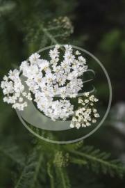"Duizendblad (herba), ""Achillea millefolium"" - 10 gram"