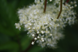 Tinctuur (BIO): Moerasspirea Ø  -  Fillipendula ulmaria - 100 ml