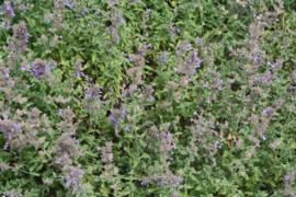 "Kattenkruid (herba) ""nepeta cataria"" - 10 gram"
