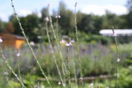 Tinctuur (BIO): IJzerhard Ø  -  Verbena officinalis - 100 ml