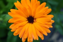 "Tinctuur: Goudsbloem, ""Calendula officinalis"""