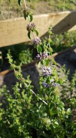 Plant: Polei  (Mentha pulegium)