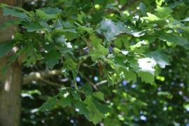 Tinctuur: Eikenbast Ø  -  Quercus robur - 100 ml