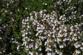 Tinctuur (BIO): Tijm Ø - Thymus vulgaris - 100 ml