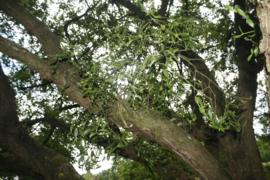 Maretak (herba) - Viscum album - biologisch 50 gram
