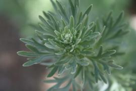 Tinctuur: Alsem Ø - Artemisia absinthium  - 100 ml