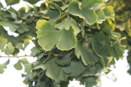 Tinctuur: Ginkgo Ø  -  Ginkgo biloba  - 100 ml