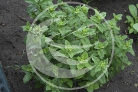 "Citroenmelisse (blad),  ""Melissa officinalis"" - 10 gram"