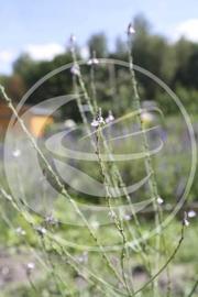 IJzerhard (herba) - Verbena officinalis - biologisch 50 gram