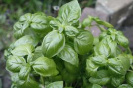 """Basilicum (blad), """"Ocimum basilicum"""" - biologisch 50 gram"""