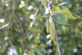 Tinctuur: Berkenblad Ø - Betula alba  - 100 ml