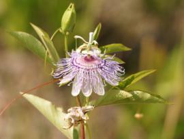 Tinctuur: Passiebloem Ø - Passiflora incarnata - 100 ml