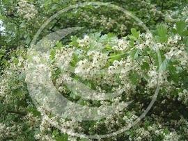 "Meidoorn (herba), ""Crataegus laevigata"" - 10 gram"