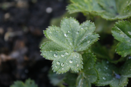Tinctuur (BIO): Vrouwenmantel Ø  -  Alchemilla vulgaris - 100 ml