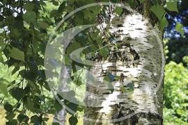 """Berk (blad), """"Betula alba"""" - 10 gram"""