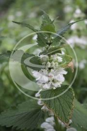 """Dovenetel, Witte (herba), """"Lamium album"""" - 10 gram"""