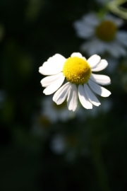 Tinctuur (BIO): Kamille Ø - Matricaria chamomilla  - 100 ml
