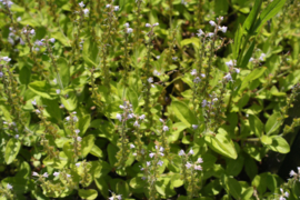 Tinctuur (BIO): Ereprijs, Mannetjes- Ø - Veronica officinalis  - 100 ml