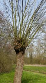Tinctuur: Wilgenbast Ø - Salix alba - 100 ml
