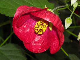 Tinctuur: Hibiscus Ø  -  Hibiscus sabdariffa - 100 ml