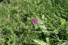 Tinctuur (BIO): Klaver, Rode- Ø  - Trifolium pratense - 100 ml