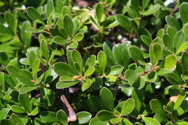 Tinctuur: Beredruif Ø - Arctostaphylos uva ursi  - 100 ml
