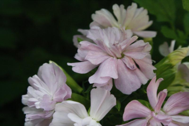 Plant: Zeepkruid (Saponaria officinalis)