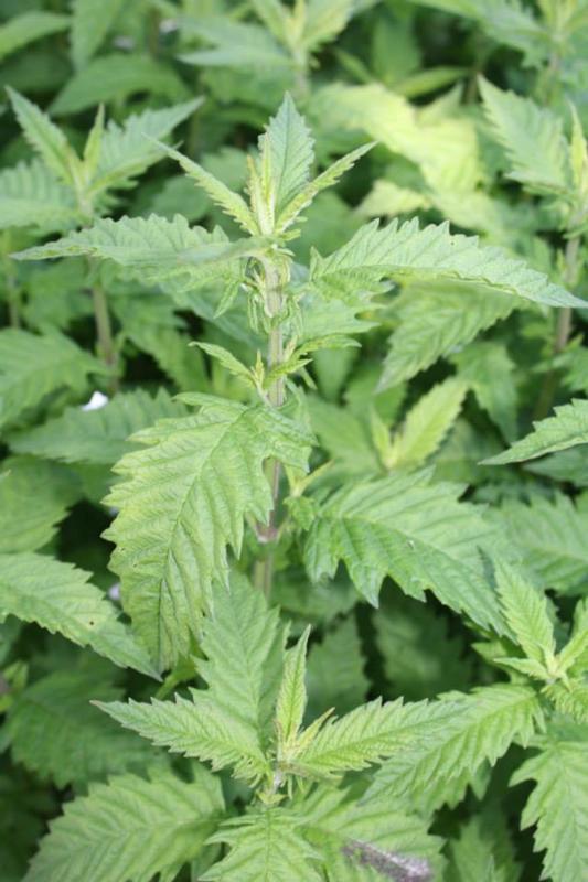 Plant:  Wolfspoot (Lycopus europaeus)