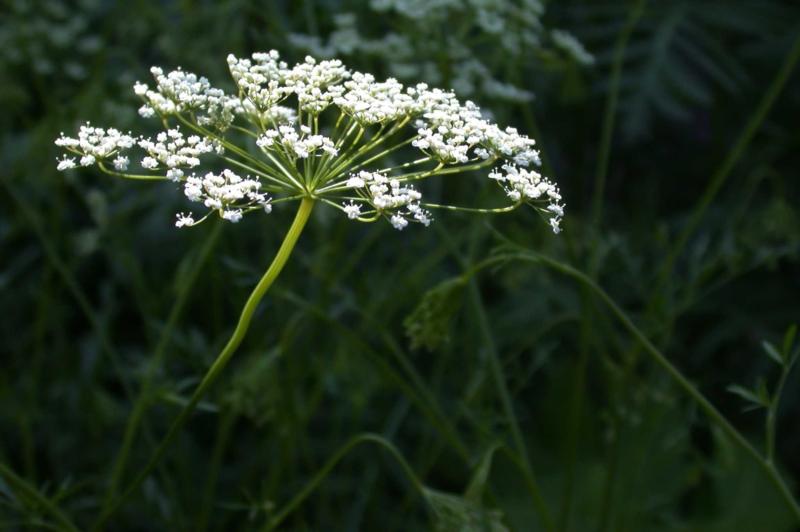 Anijs (zaad)  - Pimpinella anisum  - biologisch 100 gram