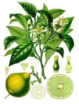 Etherische olie: Bergamot - Citrus aurantium var. bergamia