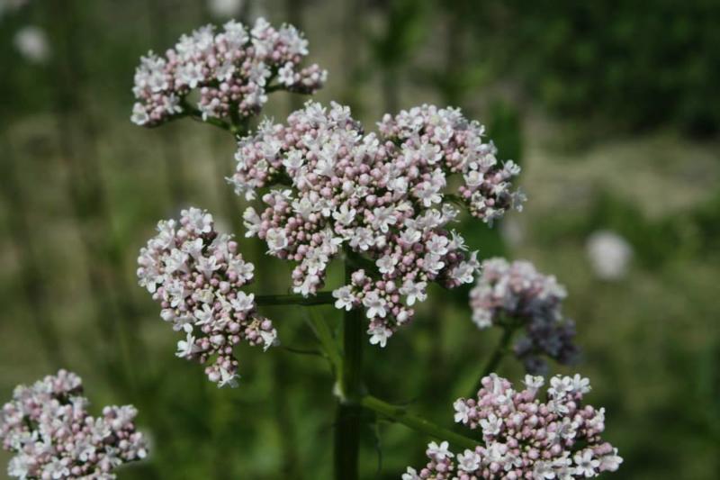 Plant: Valeriaan (Valeriana officinalis)