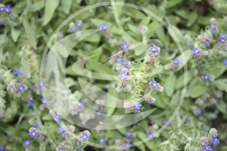 Ereprijs, Mannetjes (herba) - Veronica officinalis - biologisch 50 gram