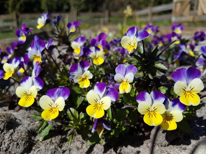 Plant: Viooltje, driekleurig (Viola tricolor)