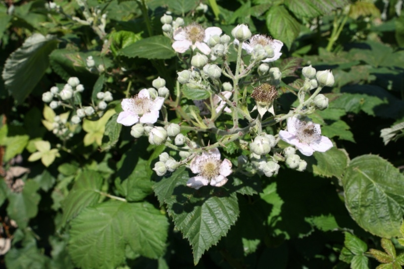Tinctuur: Braamblad Ø  -  Rubus fruticosus - 50 ml
