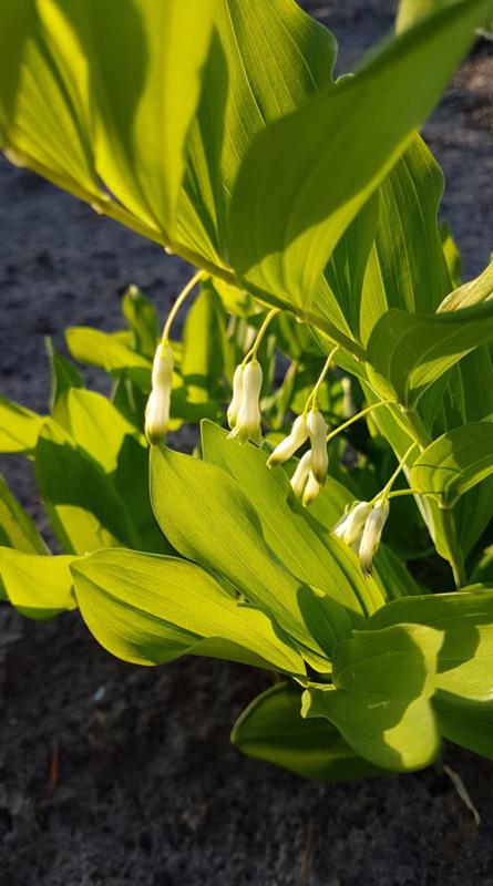 Plant: Salomonszegel (Polygonatum multiflorum)