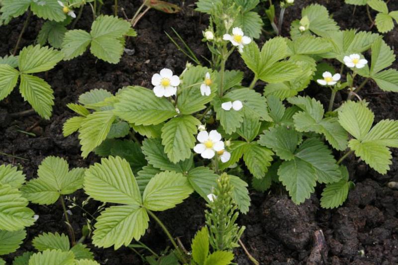 Plant: Aardbei, bos- (Frangaria vesca)