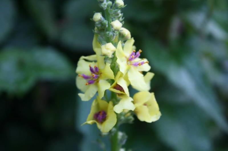 Plant: Toorts, zwarte (Verbascum nigrum)
