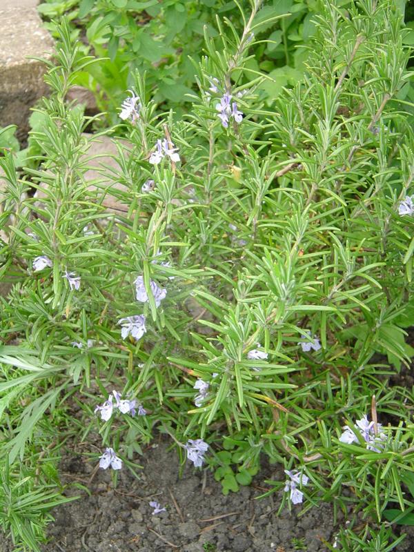"""Rozemarijn (blad), """"Salvia rosmarinus"""" - biologisch 50 gram"""