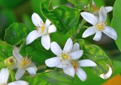 """Oranjebloesem (bloem), """"Citrus aurantium"""" - 10 gram"""