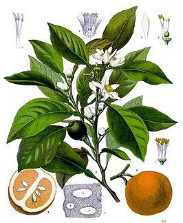 Etherische olie: Sinaasappel, zoete - Citrus aurantium var. sinensis
