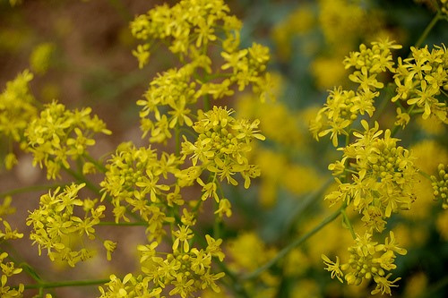 Plant: Wede (Isatis tinctoria)