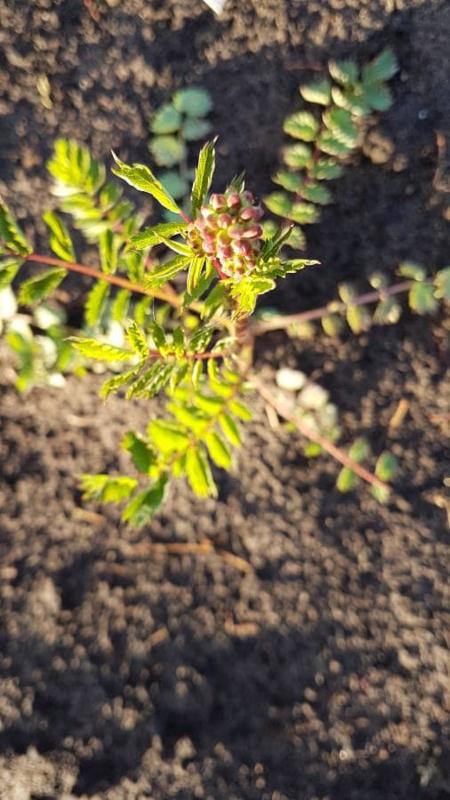 Plant: Pimpernel, kleine