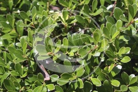 "Beredruif (blad), ""Arctostaphylos uva ursi"" - 10 gram"