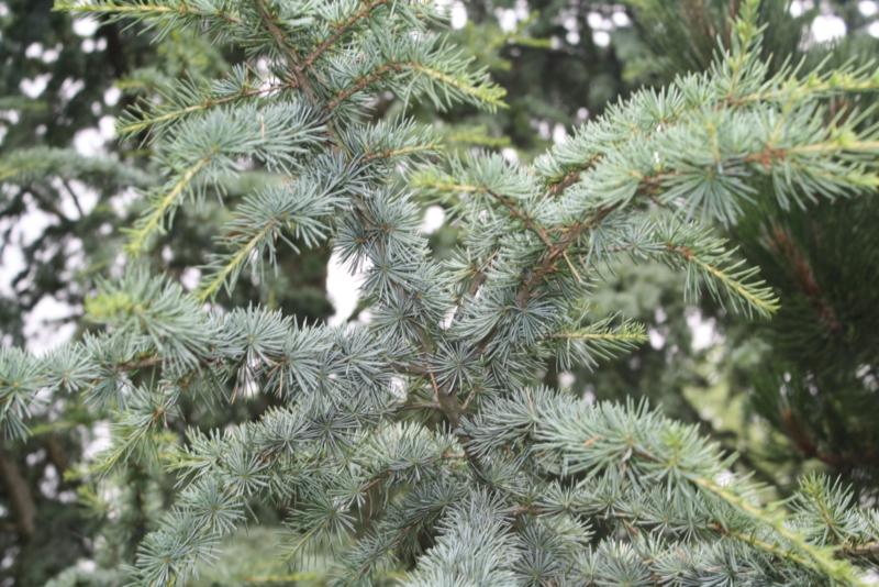 Etherische olie: Cederhout - Juniperus virginiana